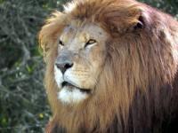 c1000-leeuw