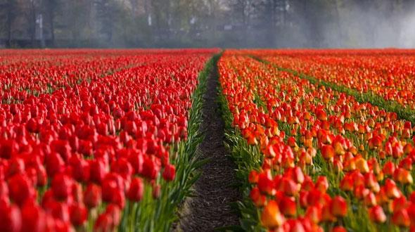 Profytodsd Tulpenfestival 2021